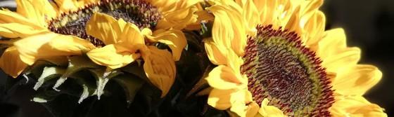dekorativt billede af solsikker